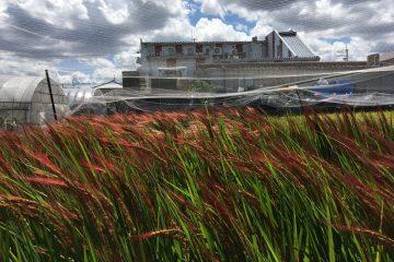 農芸高校の赤米で!