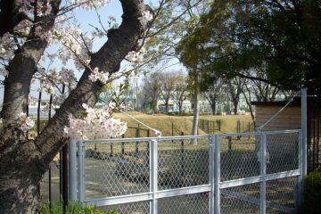 桜満開での百年の丘公開(3月31日)