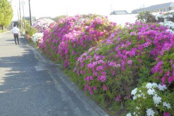 堺市景観賞のツツジが見頃です。