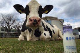 「愛がギューっとつまった農芸牛乳」を販売します。私たちが搾った牛乳を是非どうぞ!!