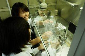 無菌操作によるコチョウランの継代培養
