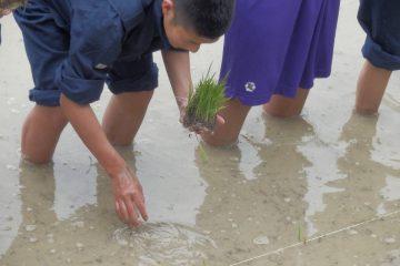 ネリカ米の田植え