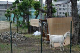 ヤギの除草活動レンタル(勝山高校での活用)
