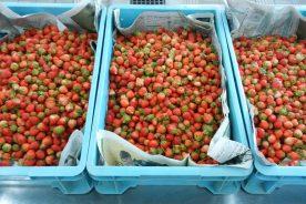 イチゴの収穫に行きました
