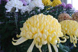 日本一の菊を決める祭典「菊花展」にて優秀賞受賞