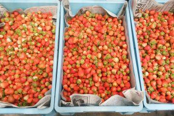 イチゴを沢山頂きました!