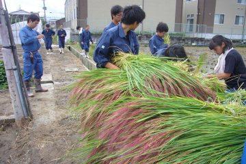 藁細工の準備「赤米」