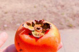 果樹専攻 農芸祭に向けて