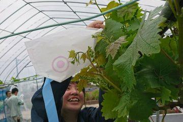 品種改良に向けた花粉採取