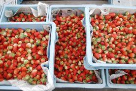今年も新鮮なイチゴを収穫させて頂きました!