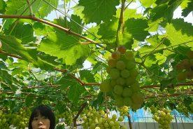 世界中のどこにもないブドウ