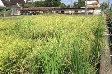 米と共に歩む作物専攻(作物専攻生徒より)