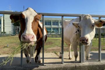 とてもカワイイ搾乳牛たち