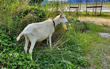 ヤギの除草