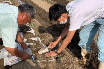 サツマイモの定植 ~作物専攻~