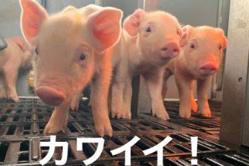 子豚が生まれました!