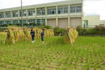 ネリカ米収穫しました