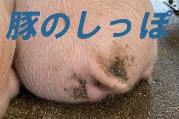 豚の豆知識(2)